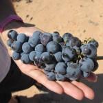 ワイン用のブドウも美味しいんですよ!