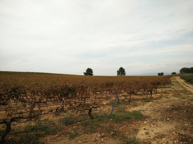 この畑のブドウの収穫はおわっていました。