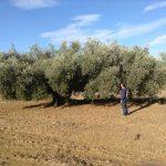 Oli del Marのオリーブオイル畑。
