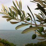 畑の向こうには海が...だからOli del Marなんですね。