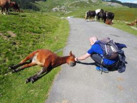 道路に頭を出して寝転ぶ仔馬。